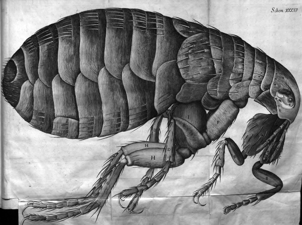Famed drawing of the flea from the Micrographia (1665)